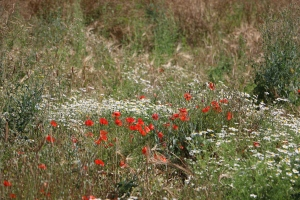 Poppies among daisies